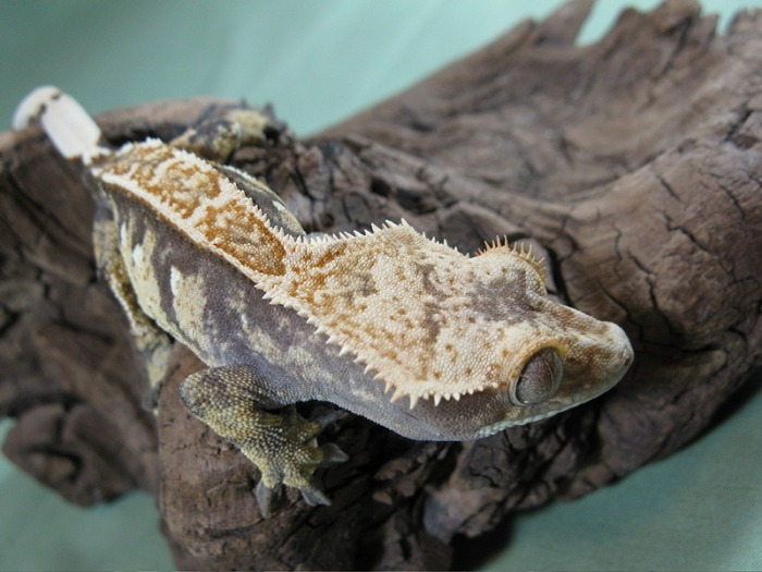 Crested Gecko Ridge And Valley Reptiles